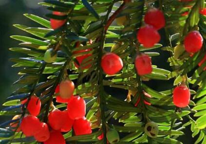 红豆杉叶子变黄图片