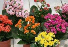 长寿花的扦插方法:叶片、顶芽、枝条都能扦插
