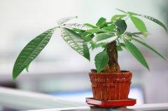 发财树的截顶时间及养护方法