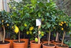 盆栽柠檬怎么多结果,注意抓住七个环节