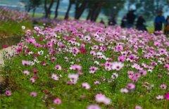 波斯菊种子的正确种植方法