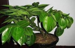 平安树在四季所需注重的养护要点