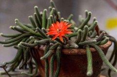 仙人指快速开花、多开花养护技巧