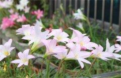风雨兰怎么养多开花的4个关键技巧