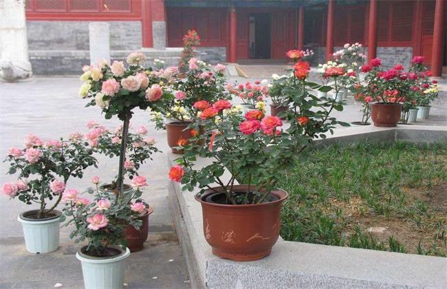 如何让盆栽月季开花不断