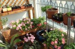 阳台花卉的越冬技巧和注意事项