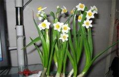水仙花休眠期的养护要点
