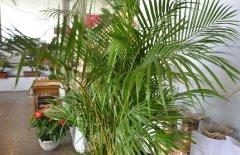 夏威夷椰子的浇水方法