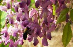 紫藤花什么时候开花 紫藤花的花语和价值