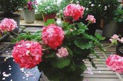 天竺葵怎么扦插 花友繁殖经验分享