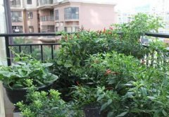 阳台种植朝天椒的方法