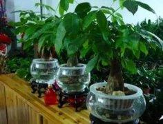 发财树的水培养殖方法