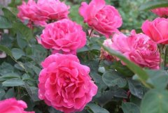 月季花种子播种成活率高的技巧