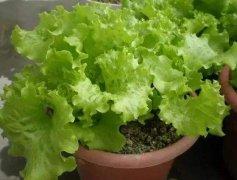 阳台盆栽生菜的种植方法