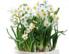冬季水仙花水养三大要点