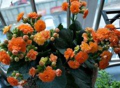 长寿花养几年能开花