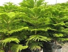 盆栽南洋杉怎么养好看