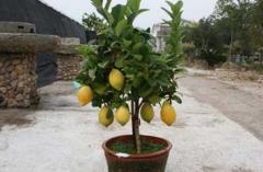 让盆栽柠檬年年开花结果的7个养护关键