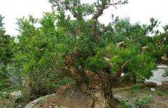 黄杨木盆景的养护要点