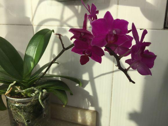 蝴蝶兰带花可以换盆吗