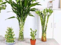 新买富贵竹的水养技巧
