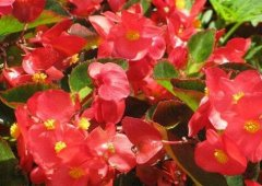 四季海棠开花好建议用这些花肥