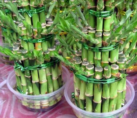 如何能让水培富贵竹在南方安全越冬