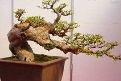 榆树盆景的养护方法