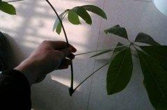 发财树没根的时候该怎么处理才能养活