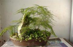 文竹冬季的养护要点技巧