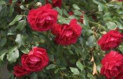 玫瑰花种子怎么种 分享正确种植方法