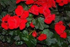 丽格海棠盆栽养护方法