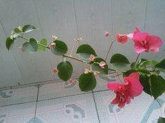 三角梅枝条扦插种植方法