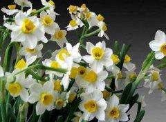 冬季水仙花养护禁忌