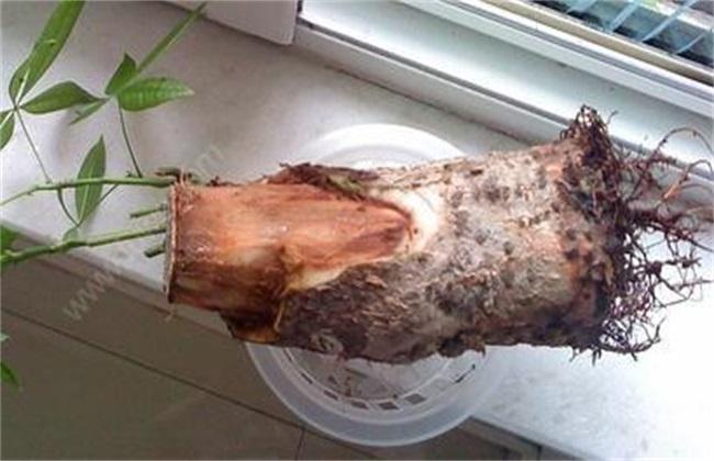 发财树根软怎么办 发财树根软