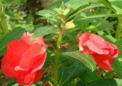 凤仙花的盆栽养殖方法
