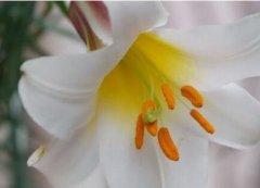 百合花开花后的正确养护方法