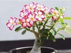 沙漠玫瑰开花时间,怎么养才会开花