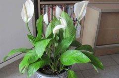 白掌花的室内养护方法