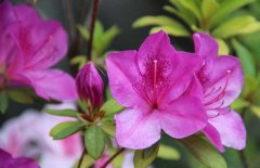 盆栽杜鹃花怎么养殖 杜鹃花的养殖方法