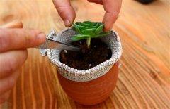 多肉植物春季换盆方法及注意事项