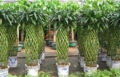 富贵竹笼的养护方法和注意事项