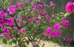盆栽三角梅的三大病虫害防治