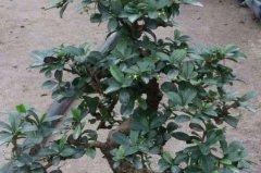 养殖福建茶盆景叶子变黄原因
