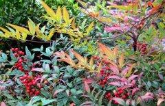 南天竹盆景的制作方法与养护要点
