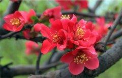 海棠花怎么种 栽培方法和注意事项