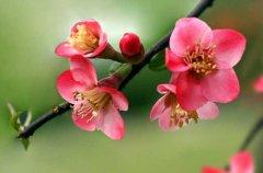 海棠花花期什么时候开花
