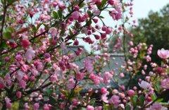 海棠花的花语是什么 关于海棠花的传说故事