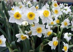 关于水仙花的水培和土培养殖方法