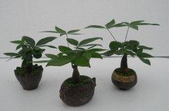 放桌上的盆栽小发财树养护方法